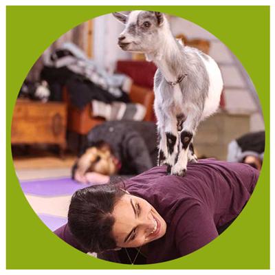Yoga-chèvre